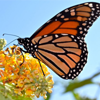 The Monarch Butterfly with Sandy Morrisey
